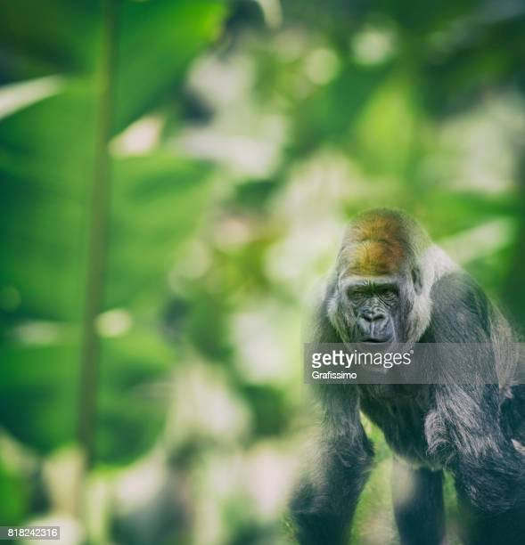 Western Lowland Gorilla standing and looking at camera in rainforest