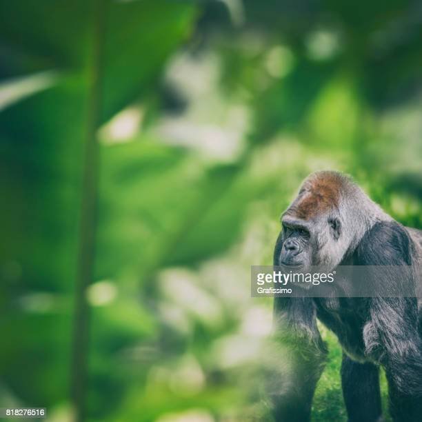 Western Lowland Gorilla standing and looking in rainforest