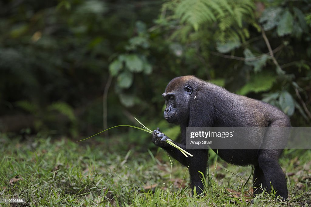 Western lowland gorilla sub-adult female feeding : Stock-Foto