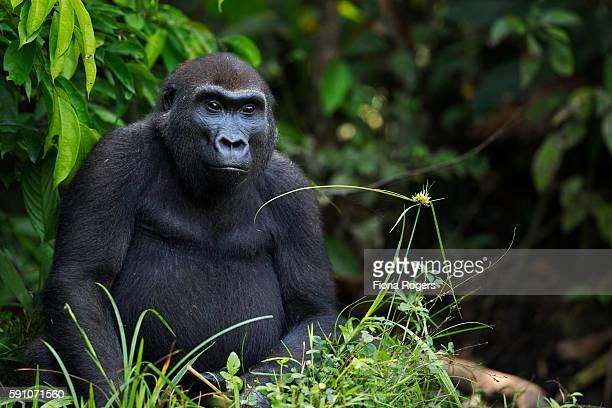 Western lowland gorilla sub-adult female 'Mosoko' aged 8 years sitting portrait