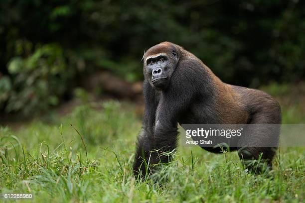 Western lowland gorilla sub-adult male 'Kunga' aged 13 years standing portrait