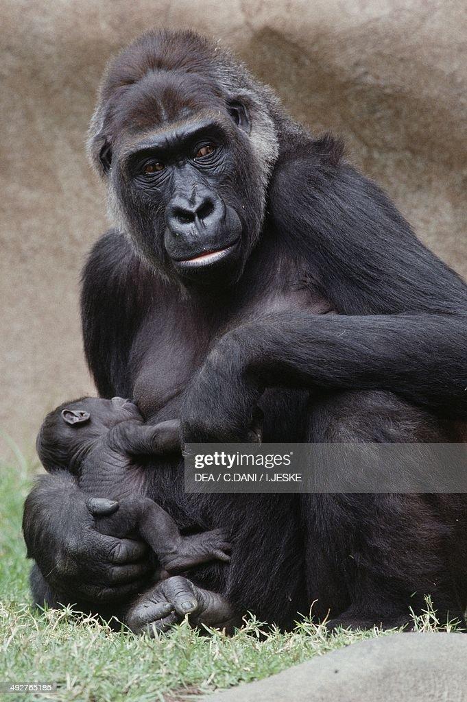 Western Lowland Gorilla with young (Gorilla gorilla gorilla), Hominidae.