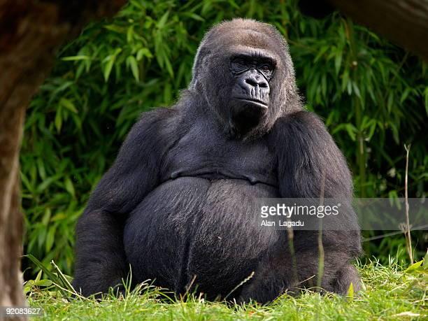 Gorille de plaine de l'ouest, Jersey.