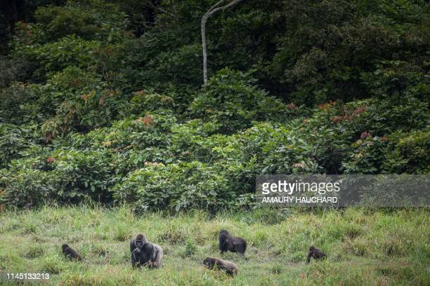 Western lowland gorillas are seen at Langoue Bai in the Ivindo national park, on April 26, 2019 near Makokou - Discovered in 2001, Langoue Bai, a...