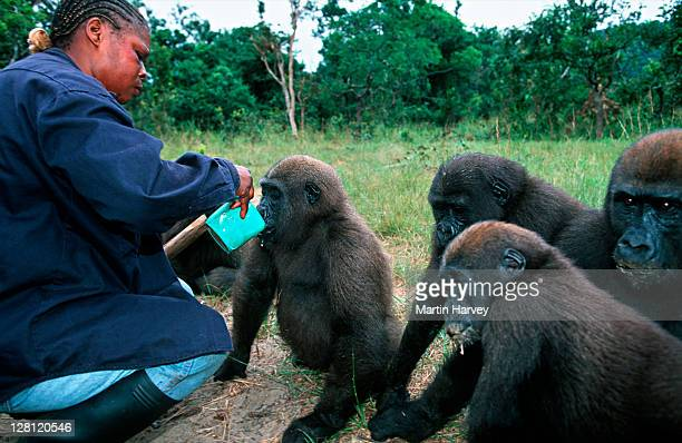 western lowland gorillas, gorilla gorilla gorilla. keeper/handler catherine missilou with orphaned gorillas reintroduced into the wild. endangered species. projet protection des gorilles, gabon/congo west-central africa: nigeria to drc - kathy west stock pictures, royalty-free photos & images
