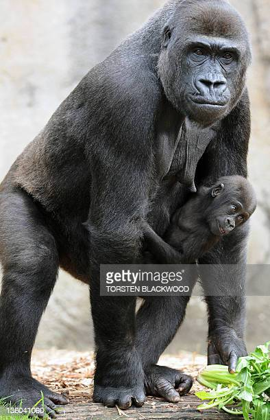 Western lowland gorillas 'Kriba' and her daughter 'Kipenzi' search for Christmas treats at Taronga Zoo in Sydney on December 21 2011 Various animals...
