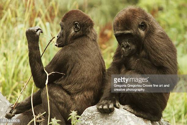 western lowland gorillas - gregoria gregoriou crowe fine art and creative photography. stock pictures, royalty-free photos & images