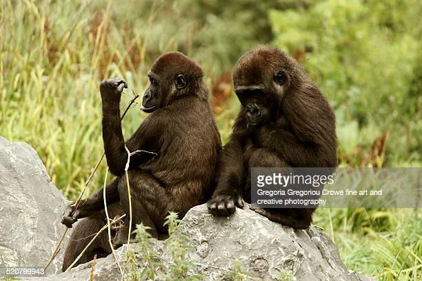 western lowland gorillas - gregoria gregoriou crowe fine art and creative photography - fotografias e filmes do acervo