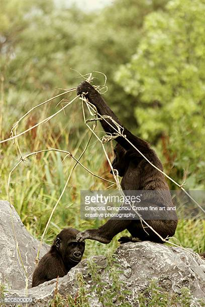 western lowland gorillas - gregoria gregoriou crowe fine art and creative photography. photos et images de collection