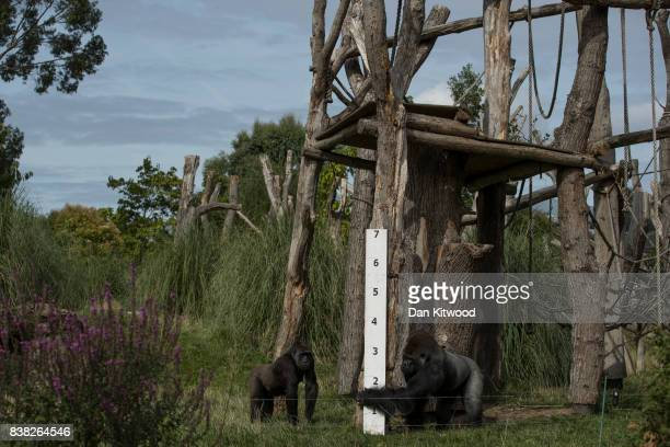 Western Lowland Gorillas stands next to a large measuring stick during a photocall to promote the London Zoo annual 'weighin' event on August 24 2017...