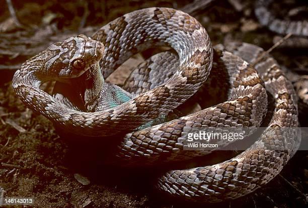 Western lyre snake eating spiny lizard prey Trimorphodon biscutatus biscutatus Lizard Sceloporous clarki This secretive nocturnal cateyed species is...