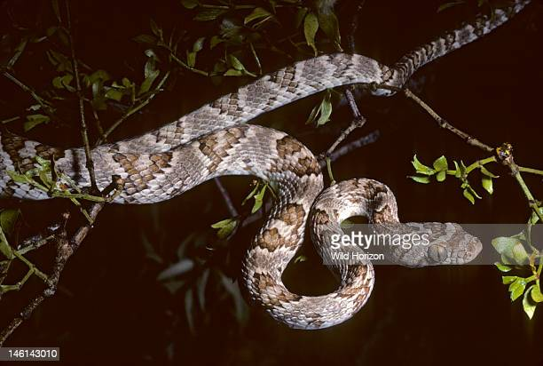 Western lyre snake exploring a creosote bush at night Trimorphodon biscutatus biscutatus This secretive nocturnal cateyed species is rearfanged and...