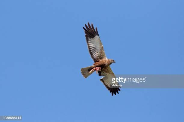 Western marsh harrier / Eurasian marsh harrier male with rabbit / hare prey in its talons flying against blue sky.