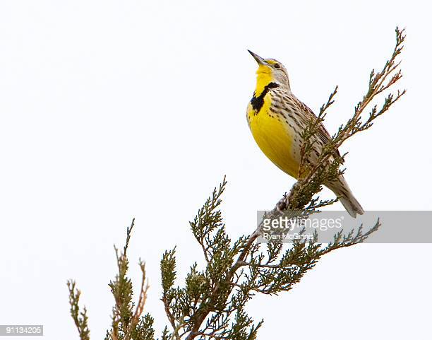 western meadowlark on tree branch - ryan mcginnis stock photos and pictures