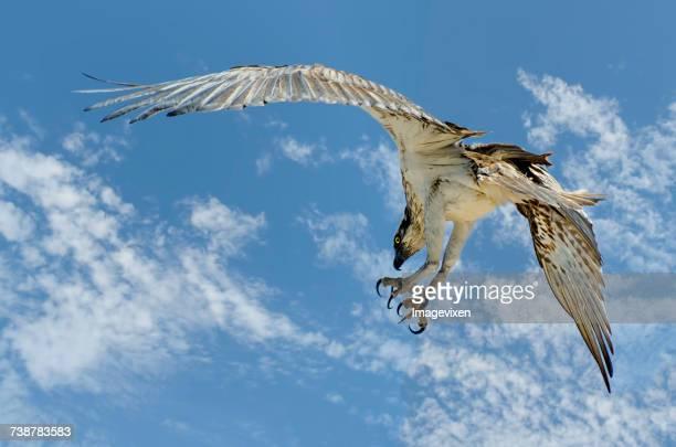 Western Osprey bird (Pandion haliaetus), Australia