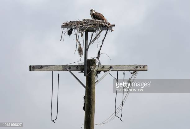 A Western Osprey nests atop a utility pole at the Kennedy Space Center in Florida on May 26 2020 ahead of the launch of the SpaceX Falcon 9 rocket...