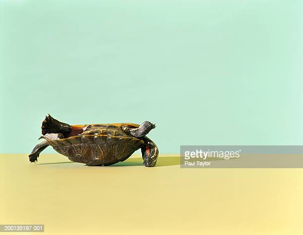 Western Painted Turtle (Chrysemys picta bellii) lying on back
