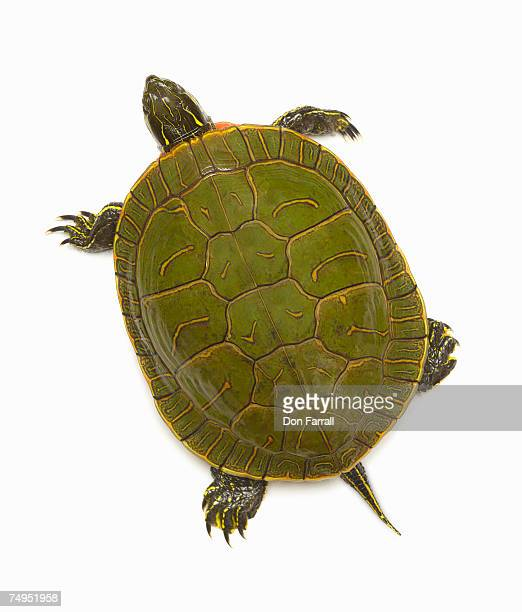 Western painted turtle (Chrysemys picta bellii), overhead view