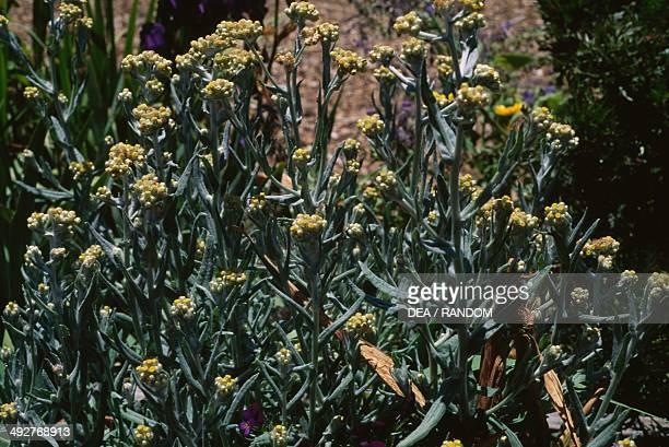 Western pearly everlasting Asteraceae
