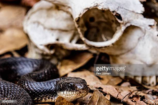 western rat snake next to a goat skull - black rat snake stock pictures, royalty-free photos & images