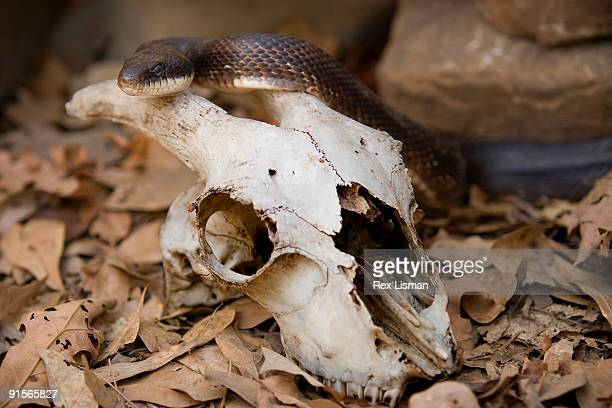 western rat snake - rat snake stock photos and pictures