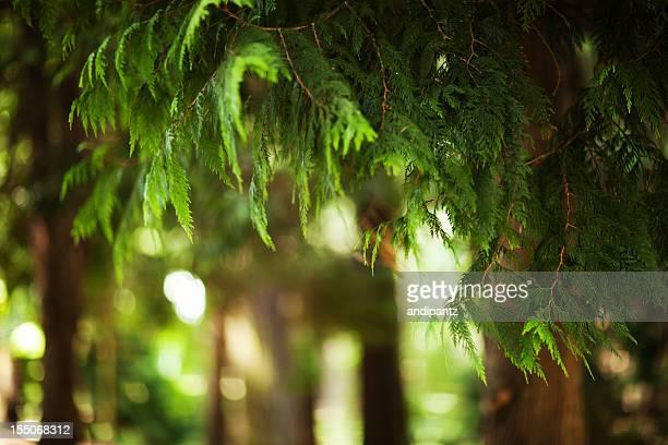 western red cedar - zeder stock-fotos und bilder