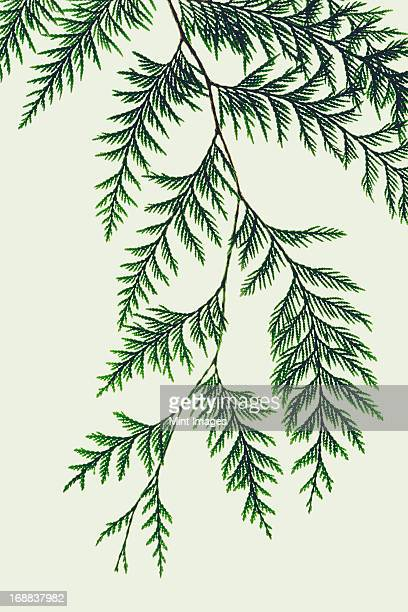western red cedar tree branch with green linear shaped leaves against a white background. - zeder stock-fotos und bilder