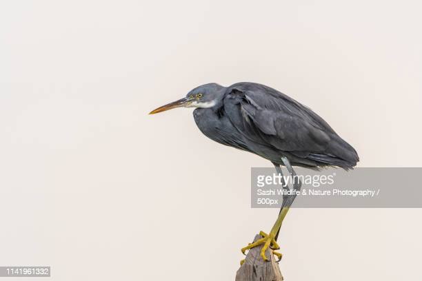 a western reef egret perching - wildlife stock pictures, royalty-free photos & images