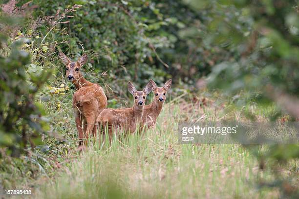 Western Roe Deer Chevrette And Two Fawns Picture Taken In Picardy FranceCapreolus Capreolus Western Roe Deer Cervid Ruminant Mammal