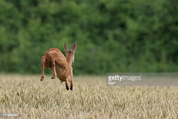 Western Roe Deer Chevrette Running Picture Taken In Picardy FranceCapreolus Capreolus Western Roe Deer Cervid Ruminant Mammal