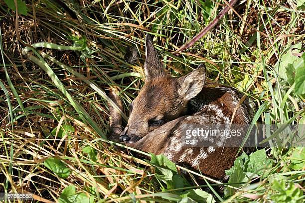 Western Roe Deer Fawn Asleep Picture Taken In Picardy FranceCapreolus Capreolus Western Roe Deer Cervid Ruminant Mammal