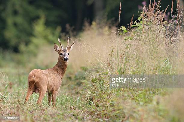 Western Roe Deer Male European Roe Deer Called Yearling Male Deer In A Field Picture Taken In Picardy FranceCapreolus Capreolus Western Roe Deer...