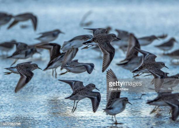 Western sandpipers are seen at the Salton Sea on December 28 2018 near Calipatria California United States Scientists believe that the southern...