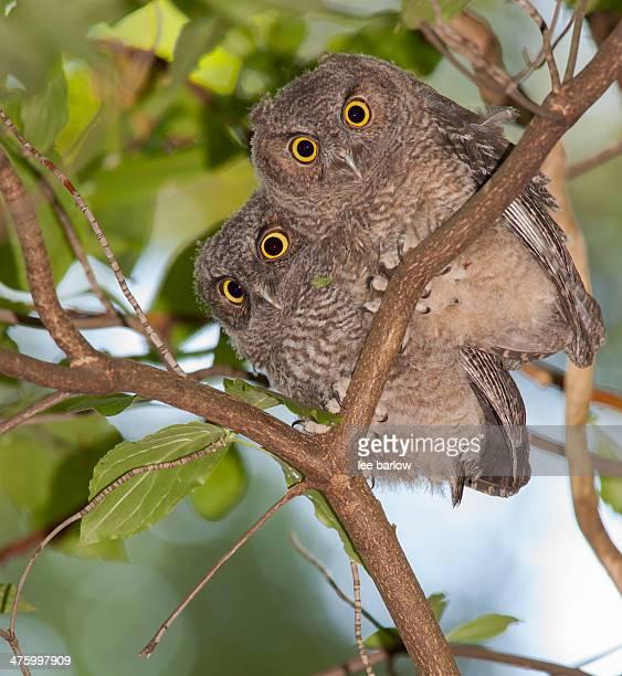 western screech owl fledglings