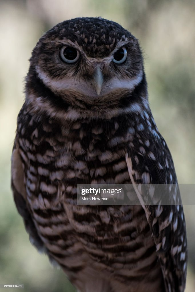 Western Screech Owl : Stock Photo
