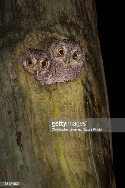 Western Screech Owlets