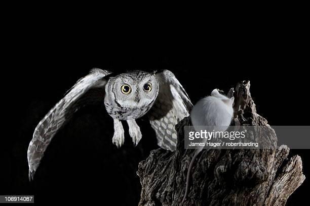 Western screech-owl (Megascops kennicottii) in flight, The Pond, Amado, Arizona, United States of America, North America