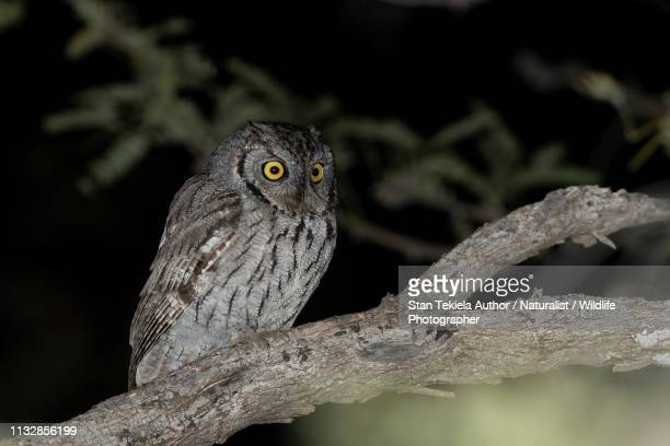 western screech-owl on branch at night in the desert - perching stock pictures, royalty-free photos & images