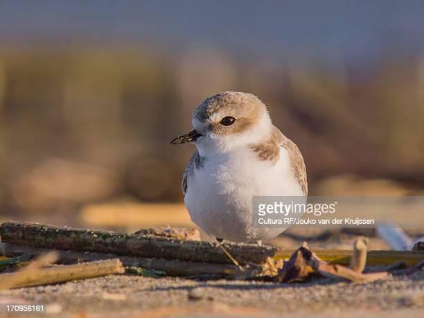 western snowy plover, kentish plover, charadrius alexandrinus nivosus - kentish plover stock pictures, royalty-free photos & images
