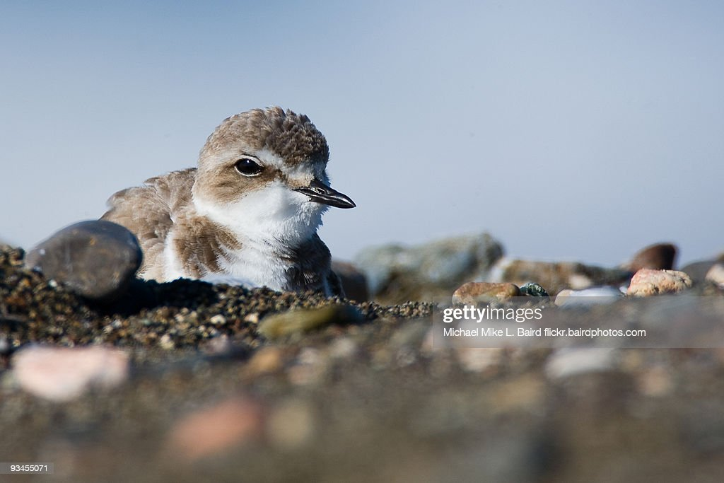 Western Snowy Plover : Stock Photo