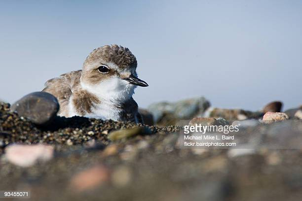 western snowy plover - kentish plover stock pictures, royalty-free photos & images