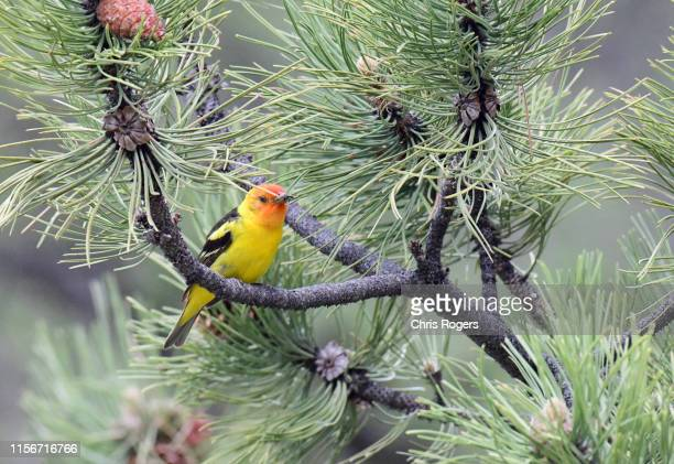 western tanager - songbird stock pictures, royalty-free photos & images