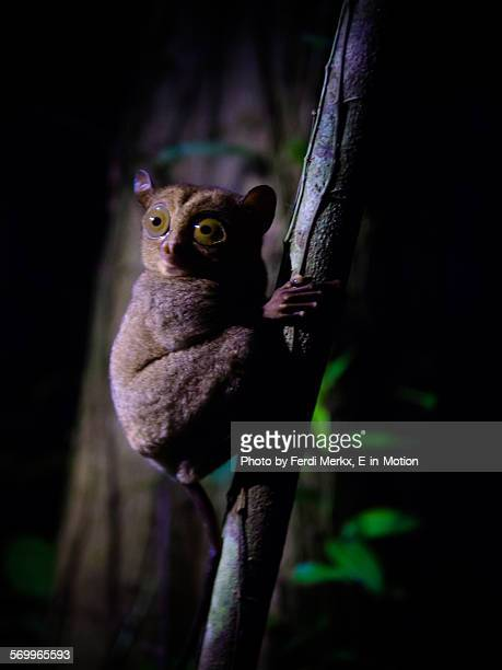 western tarsier - tarsier stock photos and pictures