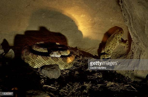Western toad accidentally gets uncomfortably close to a Western rattlesnake in an a rock alcove at Painted Rock a sacred site to the native Chumash...