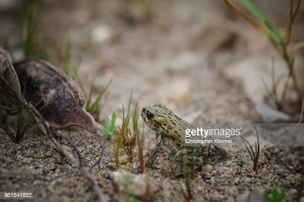 Western toad (Anaxyrus boreas) sitting on ground, Langley, British Columbia, Canada