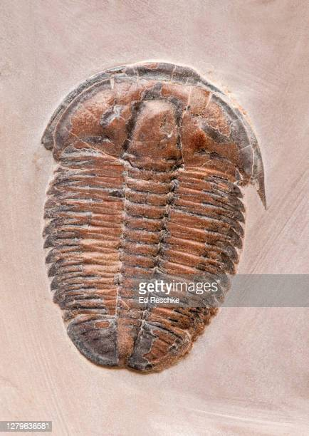 elrathia--fossil trilobite, middle cambrian period (540 million years ago) western united states, utah - ed reschke photography stock pictures, royalty-free photos & images