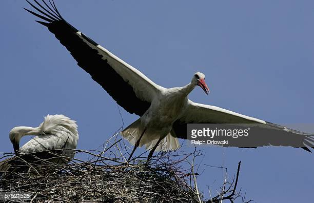 Western White Storks are pictured at the Vogelpark Walsrode on May 3 2006 in Walsrode Germany The park by own account the world's largest of its kind...