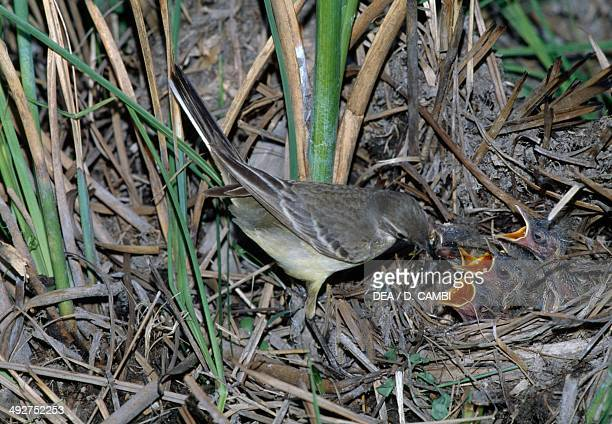 Western yellow wagtail feeding its chicks at nest , Motacillidae.