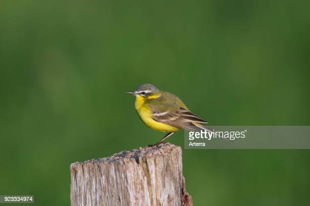 Western yellow wagtail male perched on wooden fence post