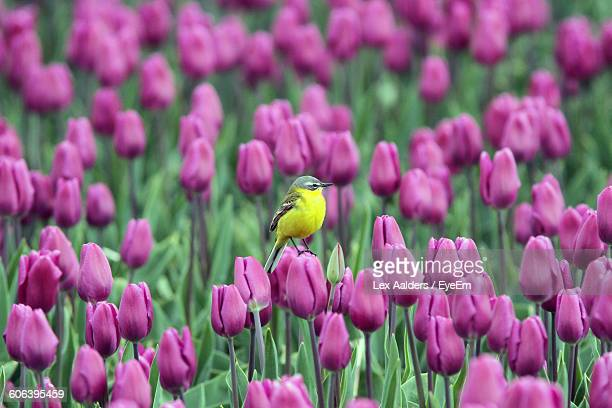 Western Yellow Wagtail Perching On Pink Tulip